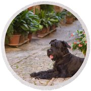 Big Black Schnauzer Dog In Italy Round Beach Towel