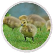 Bird - Baby Goose -leader Of The Pack Round Beach Towel