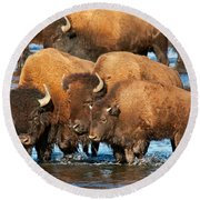 Bison Family In The Lamar River In Yellowstone National Park Round Beach Towel