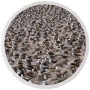 Black-browed Albatross Nesting Colony Round Beach Towel