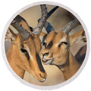 Black-faced Impalas Aepyceros Melampus Round Beach Towel