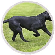Black Labrador Playing Round Beach Towel