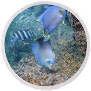 Blue Angelfish Feeding On Coral Round Beach Towel