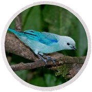 Blue-gray Tanager Round Beach Towel