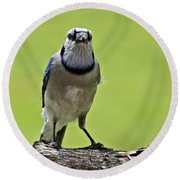 Blue Jay Meal Time Round Beach Towel