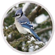 Blue Jay On Hemlock Round Beach Towel