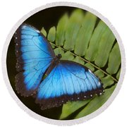 Blue Morpho Butterfly On Fren Dsc00441 Round Beach Towel