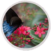 Blue Swallowtail Butterfly  Round Beach Towel