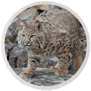 Bobcat On Rock Round Beach Towel