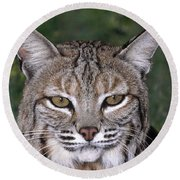 Bobcat Portrait Wildlife Rescue Round Beach Towel