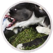 Border Collies Playing Round Beach Towel