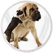 Boston Terrier And Mastiff Round Beach Towel