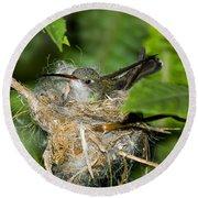 Broad-billed Hummingbird In Nest Round Beach Towel