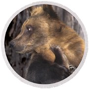 Brown Bear Tackles An Itchy Foot Endangered Species Wildlife Rescue Round Beach Towel