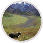 Brown Grizzly Bear In Denali National Round Beach Towel