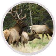 Bull Elk With His Harem Round Beach Towel
