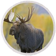 Bull Moose In Autumn Round Beach Towel