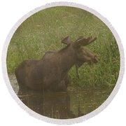 Bull Moose Looking Around  Round Beach Towel