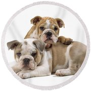 Bulldog Puppies, One On Top Of The Other Round Beach Towel