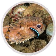 Burrfish And Cleaner Goby Round Beach Towel