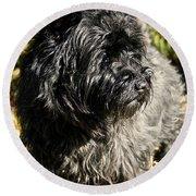Cairn Terrier Portrait Round Beach Towel