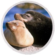 California Sea Lions Round Beach Towel by Mark Newman