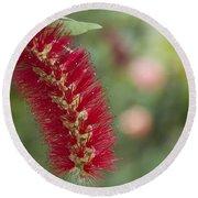 Callistemon Citrinus - Crimson Bottlebrush Round Beach Towel
