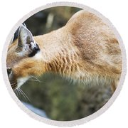 Caracal About To Jump Round Beach Towel