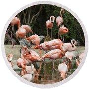 Caribbean Flamingos - Phoenicopterus Ruber Ruber Round Beach Towel