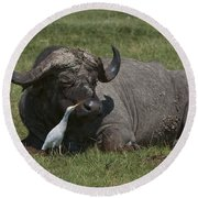 Cattle Egret With Cape Buffalo Round Beach Towel