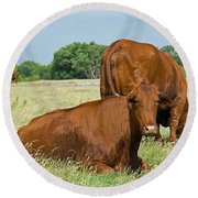 Cattle Grazing In Field Round Beach Towel