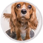 Cavalier King Charles Spaniel Puppy Round Beach Towel