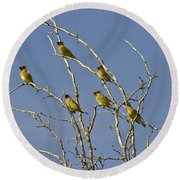Cedar Waxwings Round Beach Towel