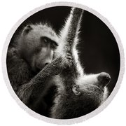 Chacma Baboons Grooming Round Beach Towel