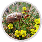 Chafer Beetle On Medusa Succulent Round Beach Towel