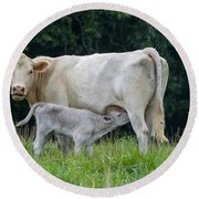 Charolais Cattle Nursing Young Round Beach Towel