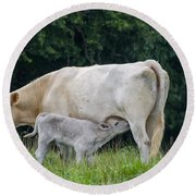 Charolais Cow Nursing Calf Round Beach Towel
