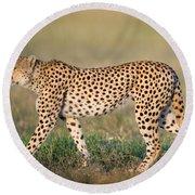 Cheetah Acinonyx Jubatus Walking Round Beach Towel