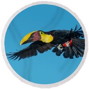 Chestnut-mandibled Toucan Flying Round Beach Towel