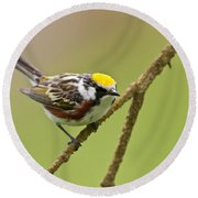 Chestnut-sided Warbler Pictures 49 Round Beach Towel