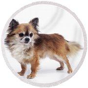 Chihuahua Dog Round Beach Towel
