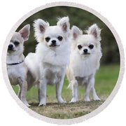 Chihuahua Dogs Round Beach Towel