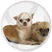 Chihuahua Puppy Dogs Round Beach Towel
