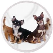 Chihuahuas Dogs Round Beach Towel