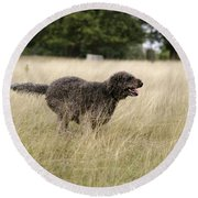 Chocolate Labradoodle Running In Field Round Beach Towel