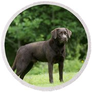 Chocolate Labrador Round Beach Towel