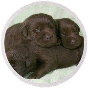 Chocolate Labrador Puppies Round Beach Towel