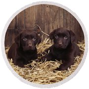 Chocolate Labrador Puppies Round Beach Towel