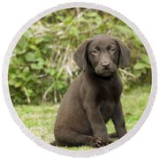 Chocolate Labrador Puppy Round Beach Towel