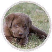 Chocolate Labrador Puppy Round Beach Towel